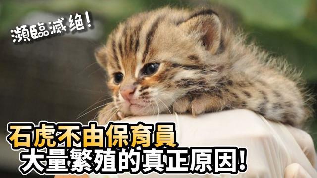 石虎不由保育員大量繁殖的真正原因!