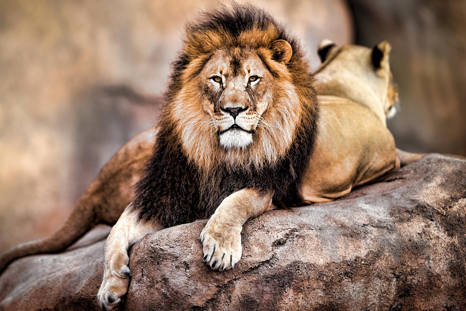 給永遠的辛巴威獅子王【塞西爾】