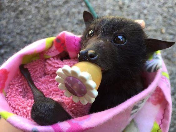 超萌Der『狐蝠寶寶』,餓到嘴裡都塞滿香蕉呢❤️