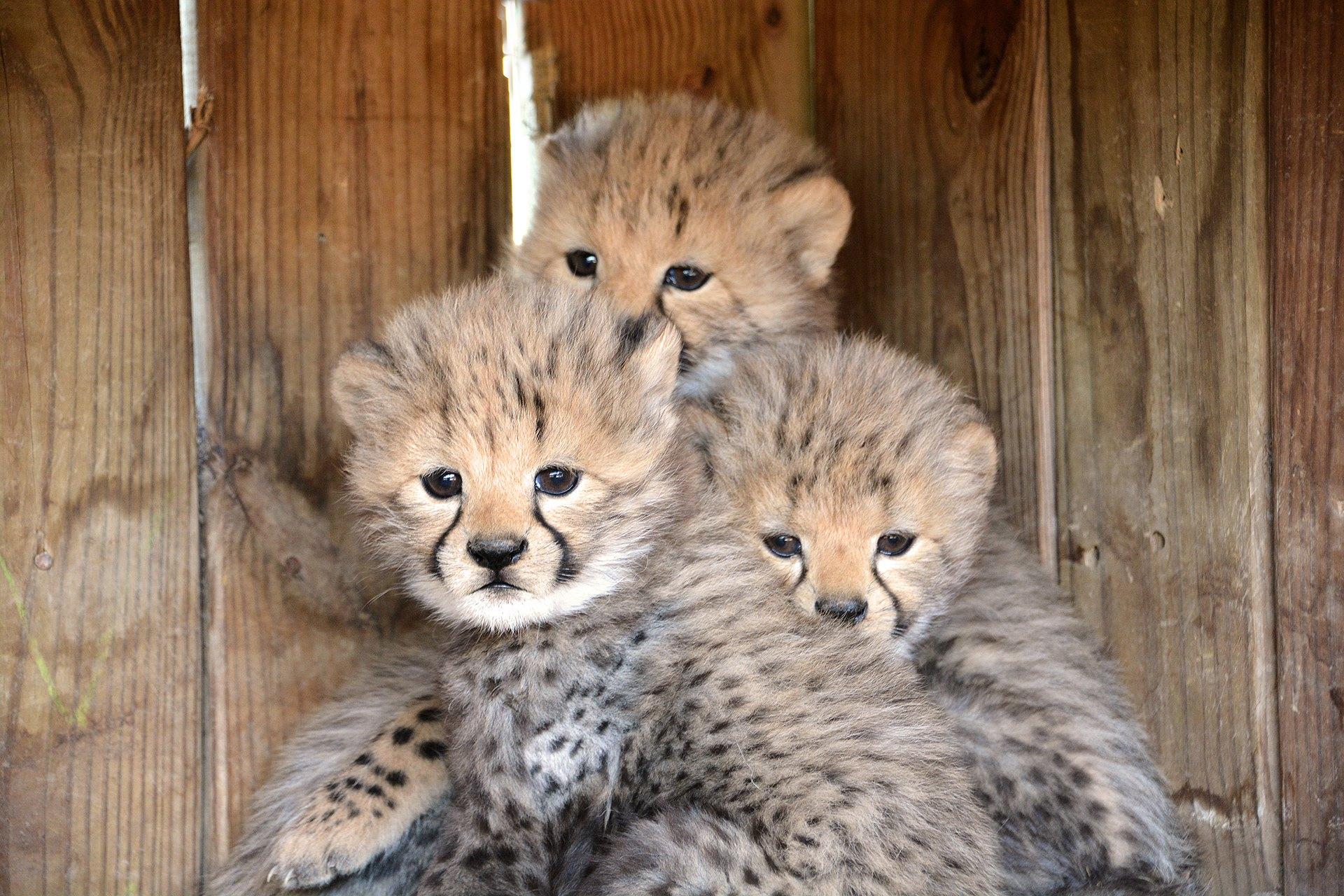 沒想到凶猛獵豹叫聲卻是跟小貓咪一樣可愛~