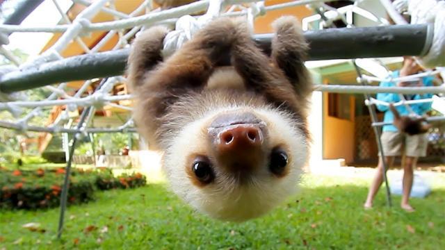 慢活動物,樹懶來啦~