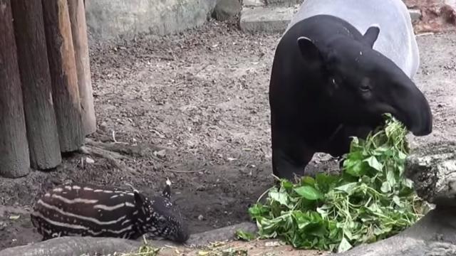 馬來貘寶寶的一週年成長紀錄!
